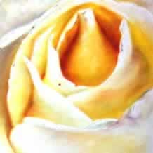 Yellow White Rose